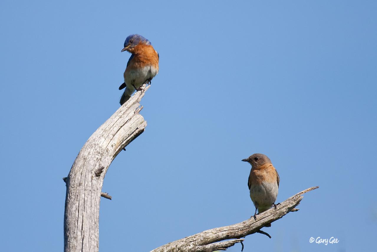 Male & Female Eastern Bluebirds