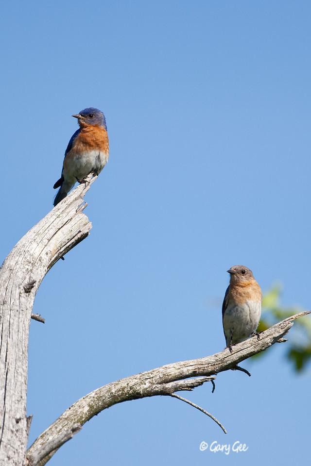 Eastern Bluebirds Male & Female