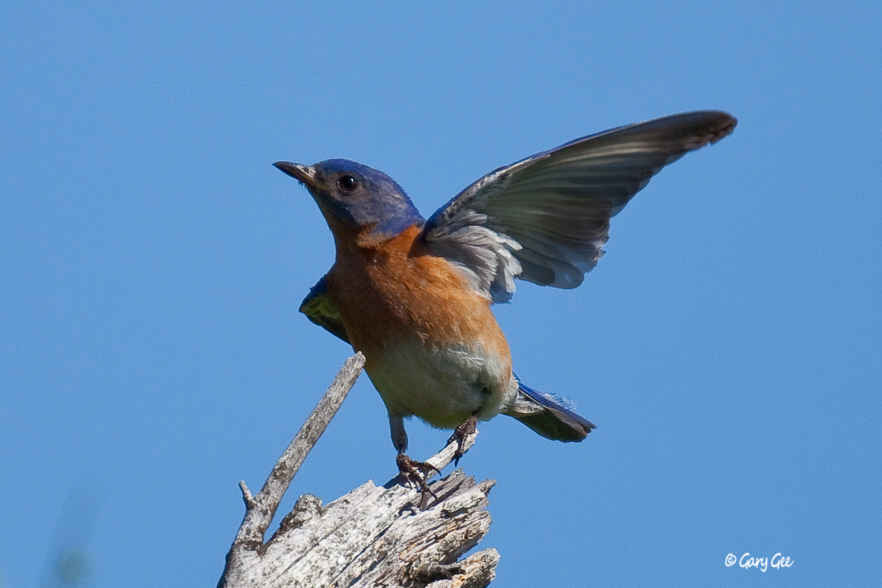 """Eastern Bluebird indicating to his buddies which way """"Up North"""" is..."""