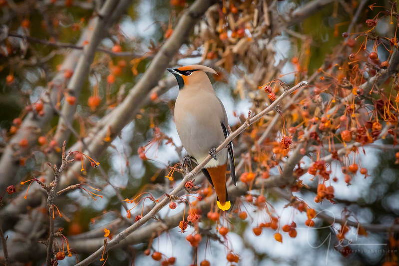 Proud Stance Bohemian Waxwing