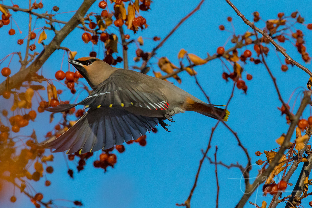 Bohemian Waxwing in Flight Northern Michigan January 2018