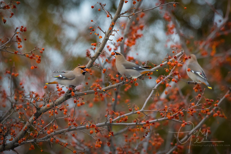 Bohemian Waxwing Group Photo