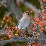 Bohemian Waxwing Northern Michigan 2017