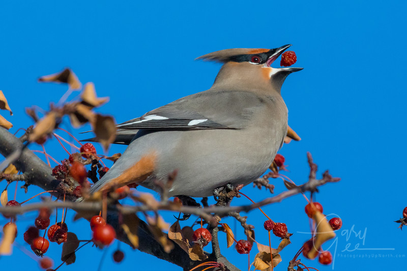 Bohemian Waxwing Northern Michigan January 2018