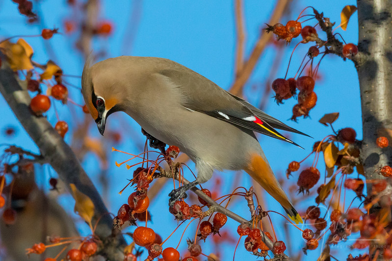 Bohemian Waxwing  Michigan - 2018