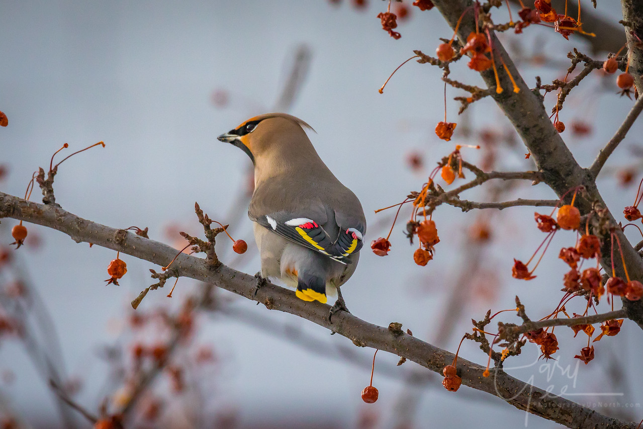 Bohemian Waxwing Northern Michigan February 2017