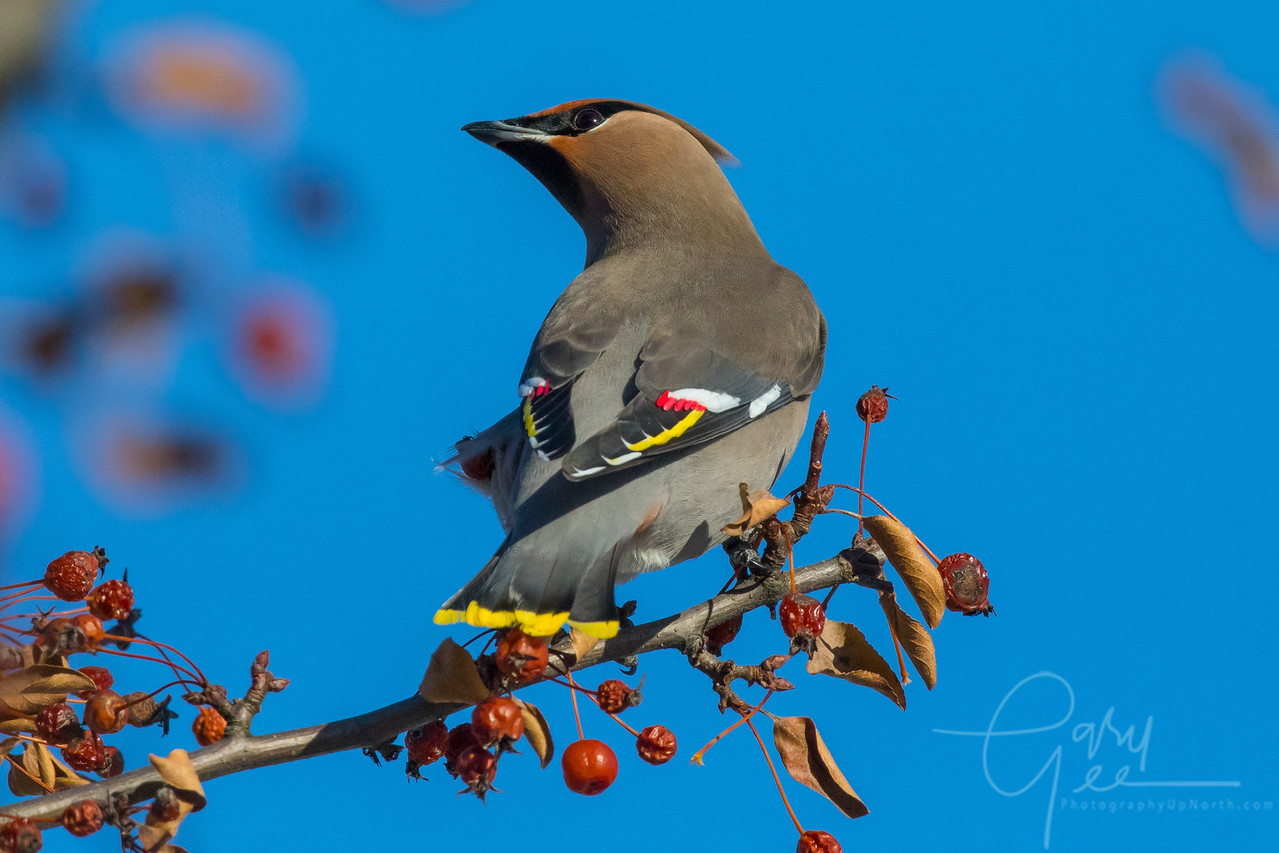 Colorful Bohemian Waxwing Northern Michigan January 2018