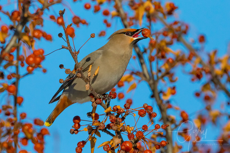 Sizing up a Berry - Bohemian Waxwing Northern Michigan January 2018