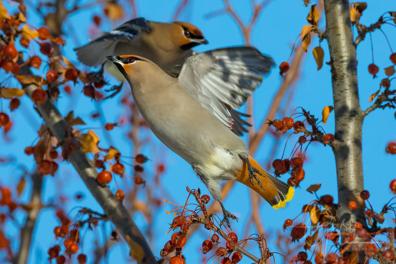 Bohemian Waxwing takes Flight Northern Michigan January 2018