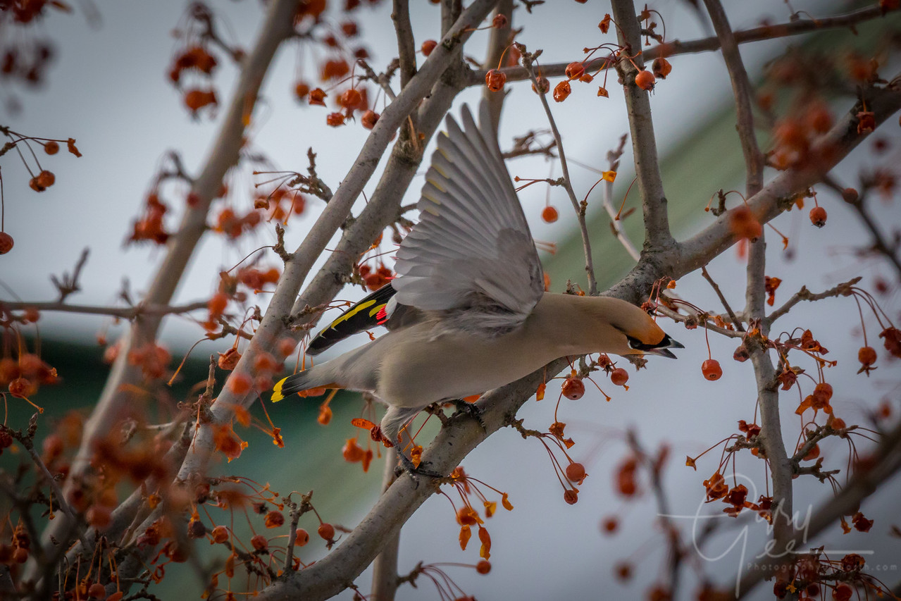 Bohemian Waxwing readies for Flight