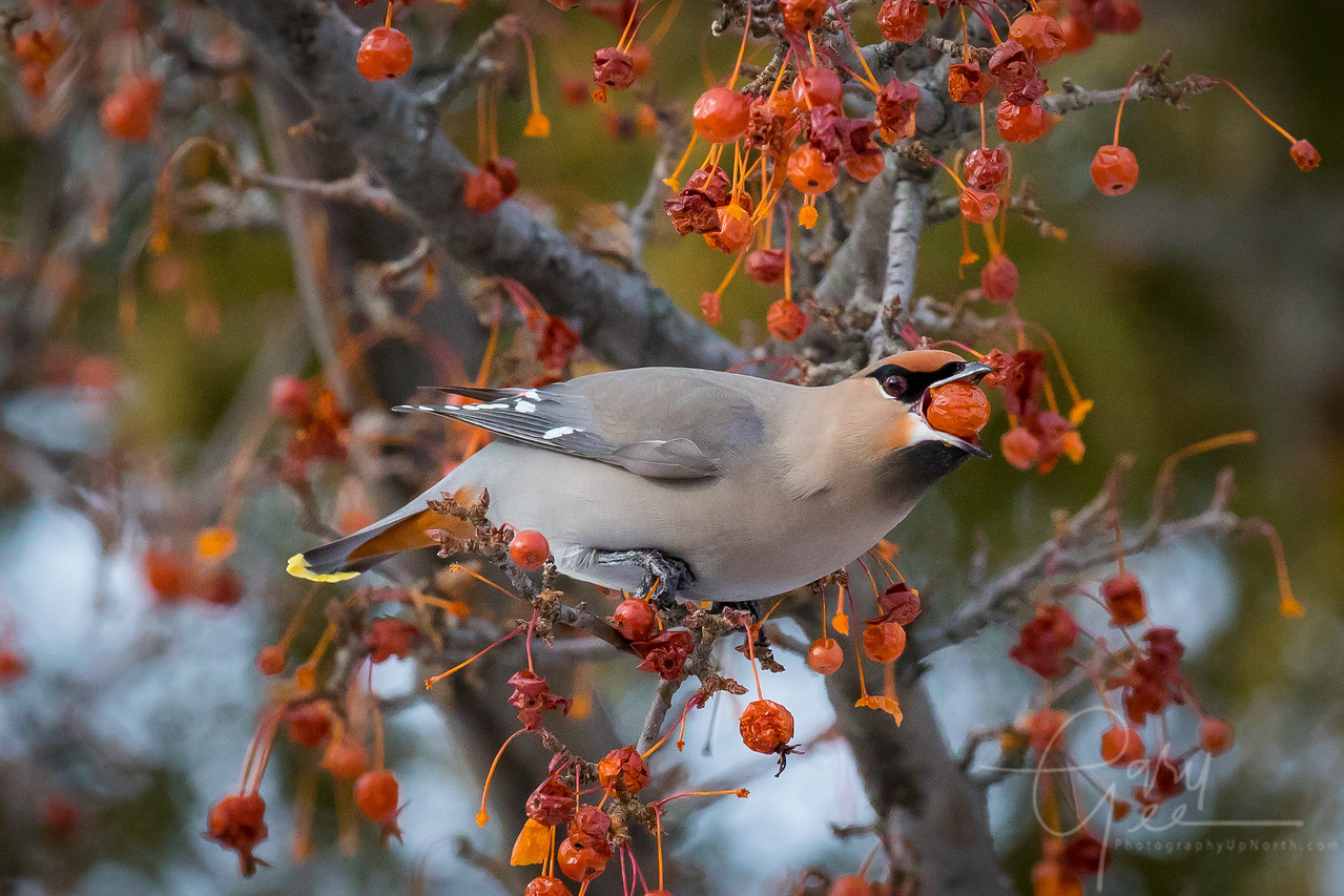 Bohemian Waxwing Northern Michigan with a Mouth full of Berry 2017