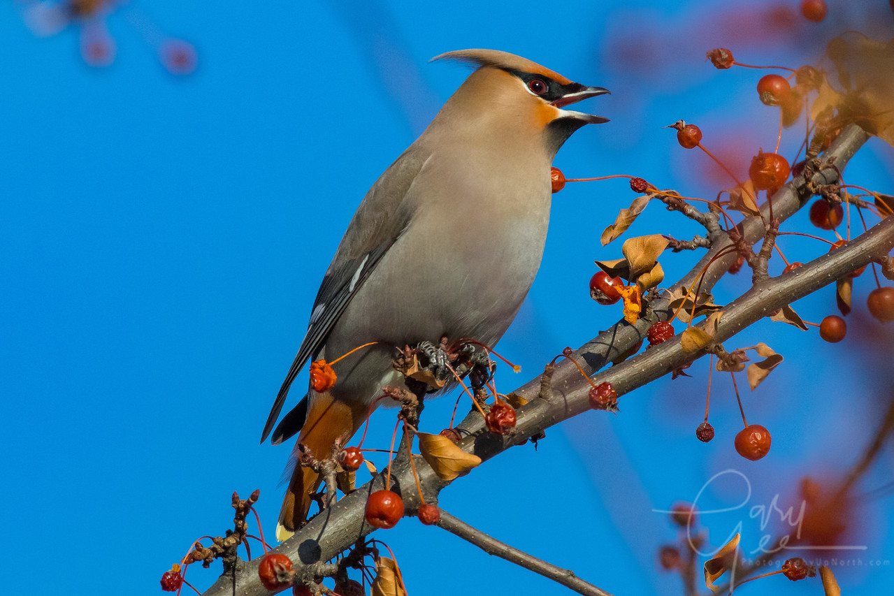 Proud Bohemian Waxwing Northern Michigan January 2018