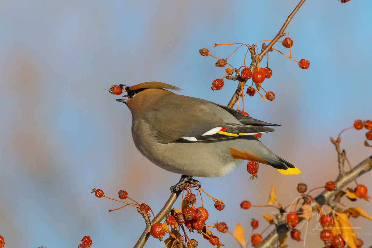 Berry Twirling Bohemian Waxwing Northern Michigan January 2018