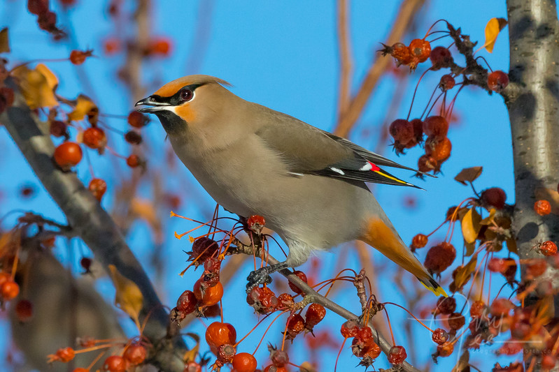 Bohemian Waxwing Close Up Northern Michigan January 2018