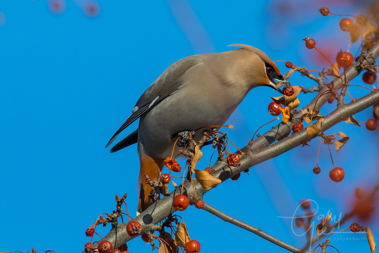 Bohemian Waxwing Northern Michigan on a frigid January Day 2018