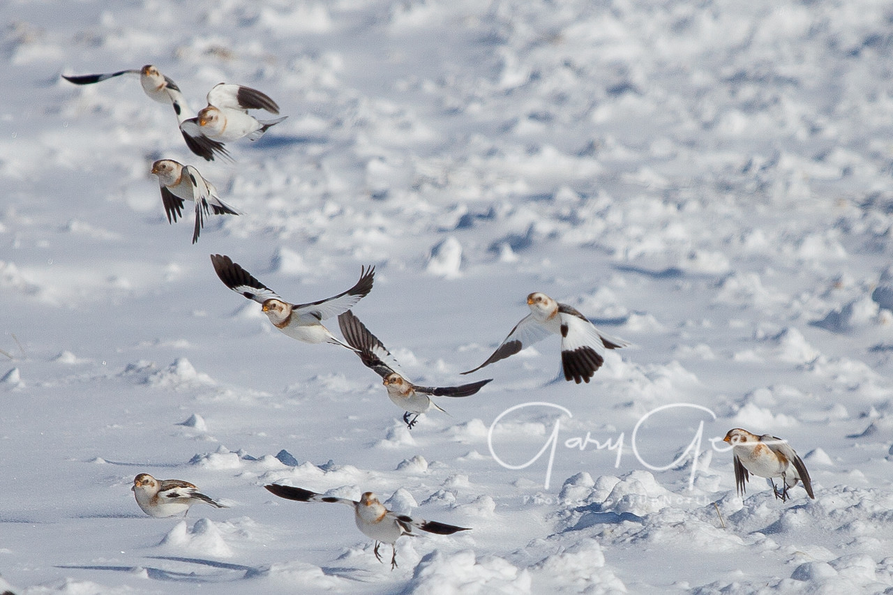 Snow Bunting flock takes flight