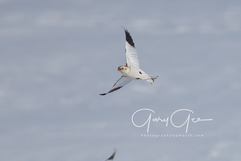 Snow Bunting screaming by!