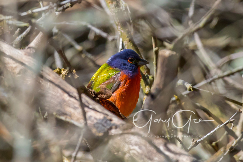 Painted Bunting - Tawas Point State Park - May 2017