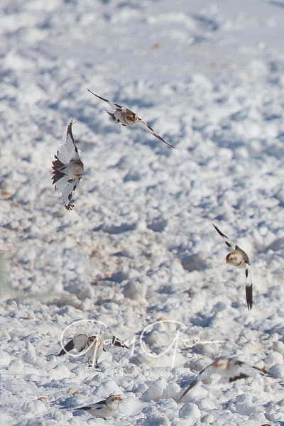 Snow Buntings landing on food source