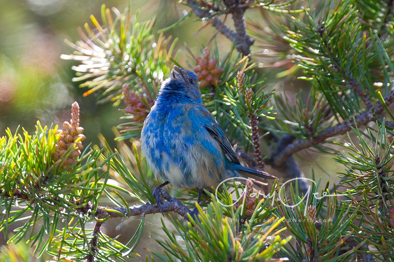 Indigo Bunting Singing Away!