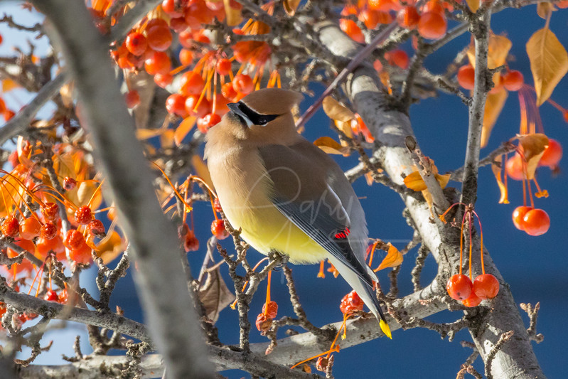Cedar Waxwing in the Bright Sunlight