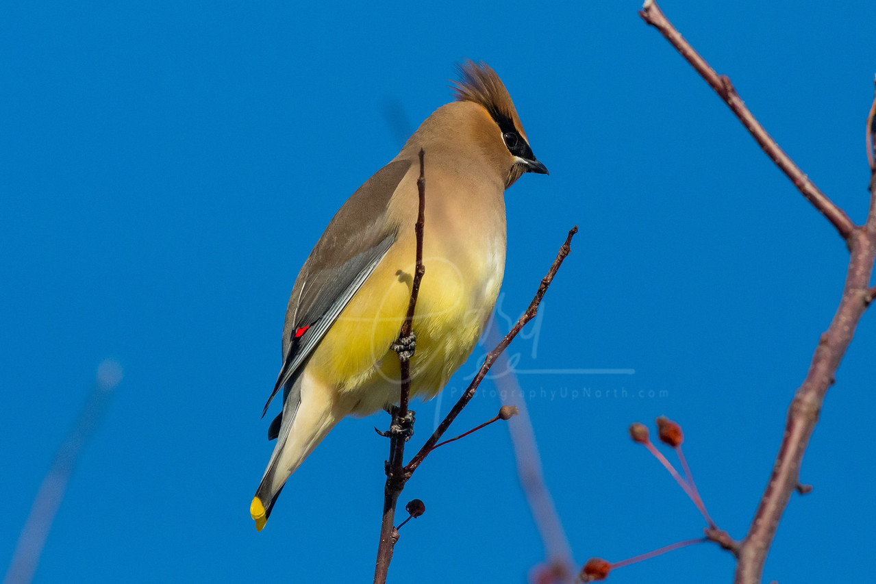 Cedar Waxwing Northern Michigan January 2018