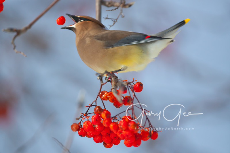 Cedar Waxwing tossing a berry before gulping down