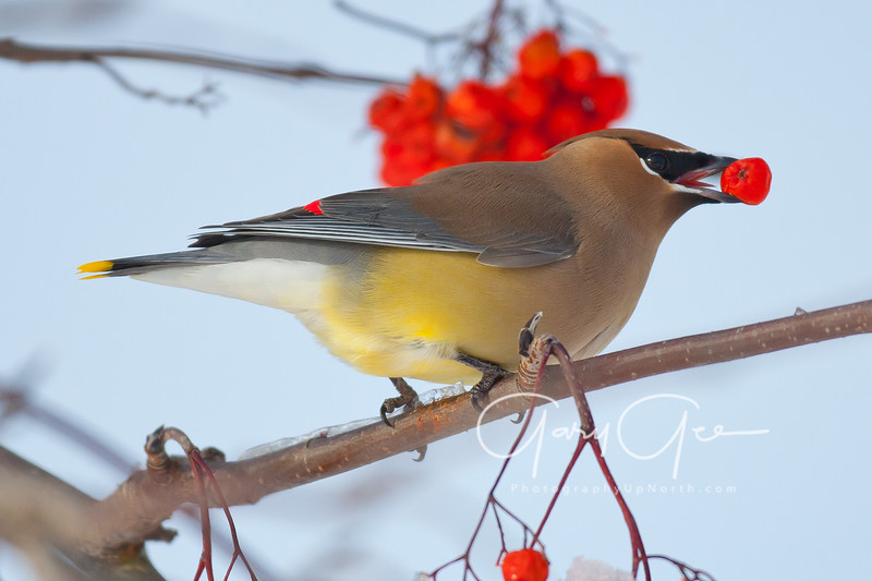 Cedar Waxwing with fruit!
