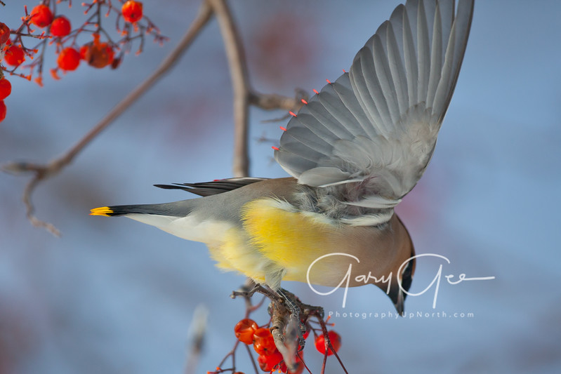 Cedar Waxwing photo. The red wax droplets of the wing from the underside show as this waxing extends it's wing. Note the red tip shafts at the very tips of the yellow tail feathers.