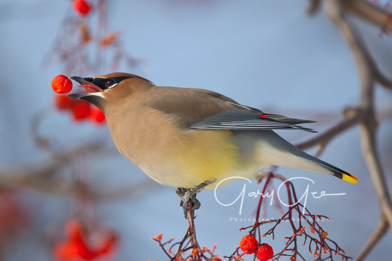 Cedar Waxwing in control of a berry