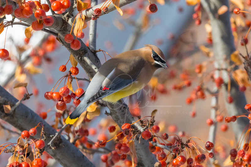 Cedar Waxwing photo taken 6 years later to the day of the photo just before this one!