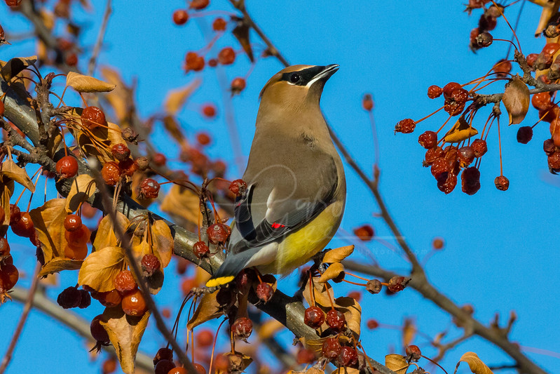 Cedar Waxwing checking out the Scenery