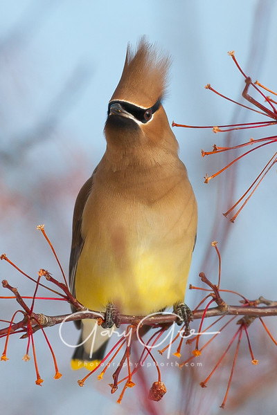 Cedar Waxwing on empty fruit branch