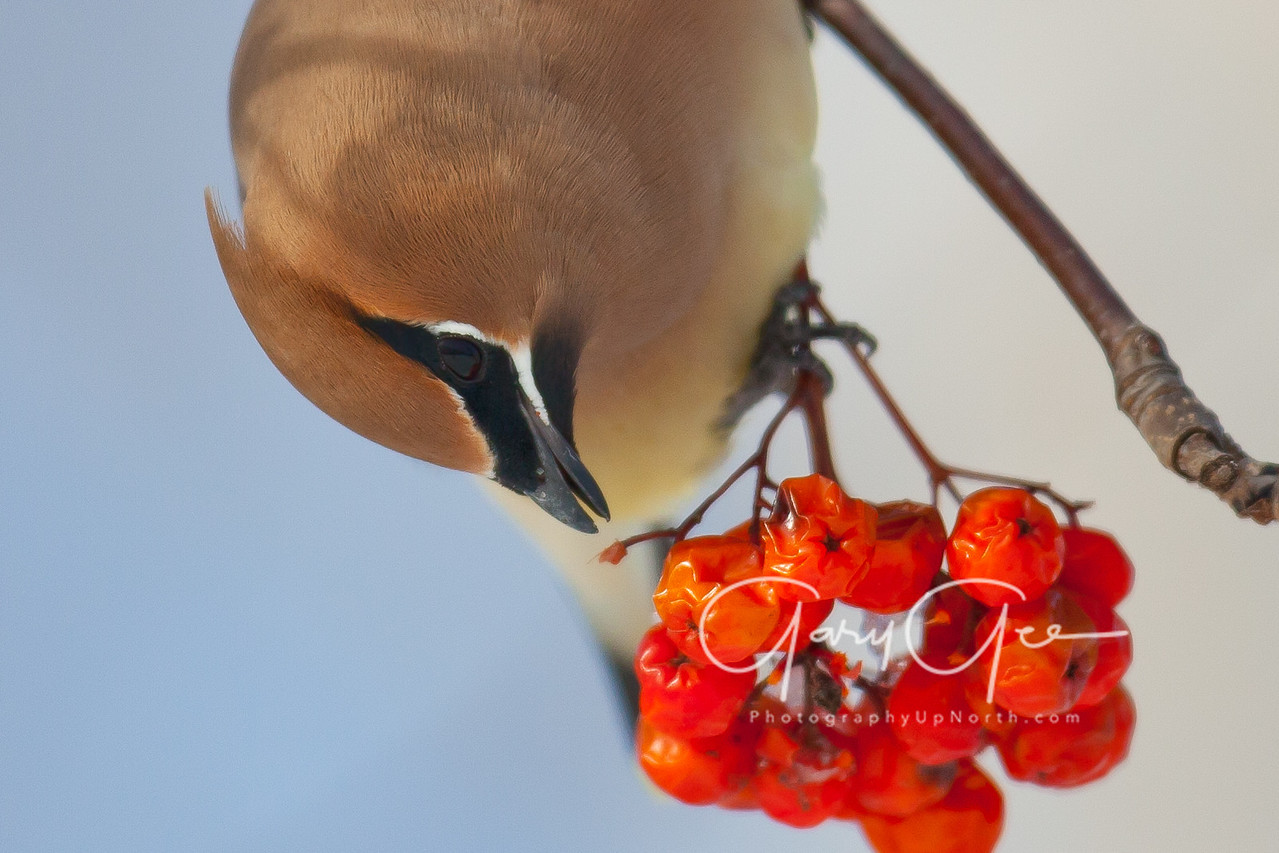 Cedar Waxwing photo closeup