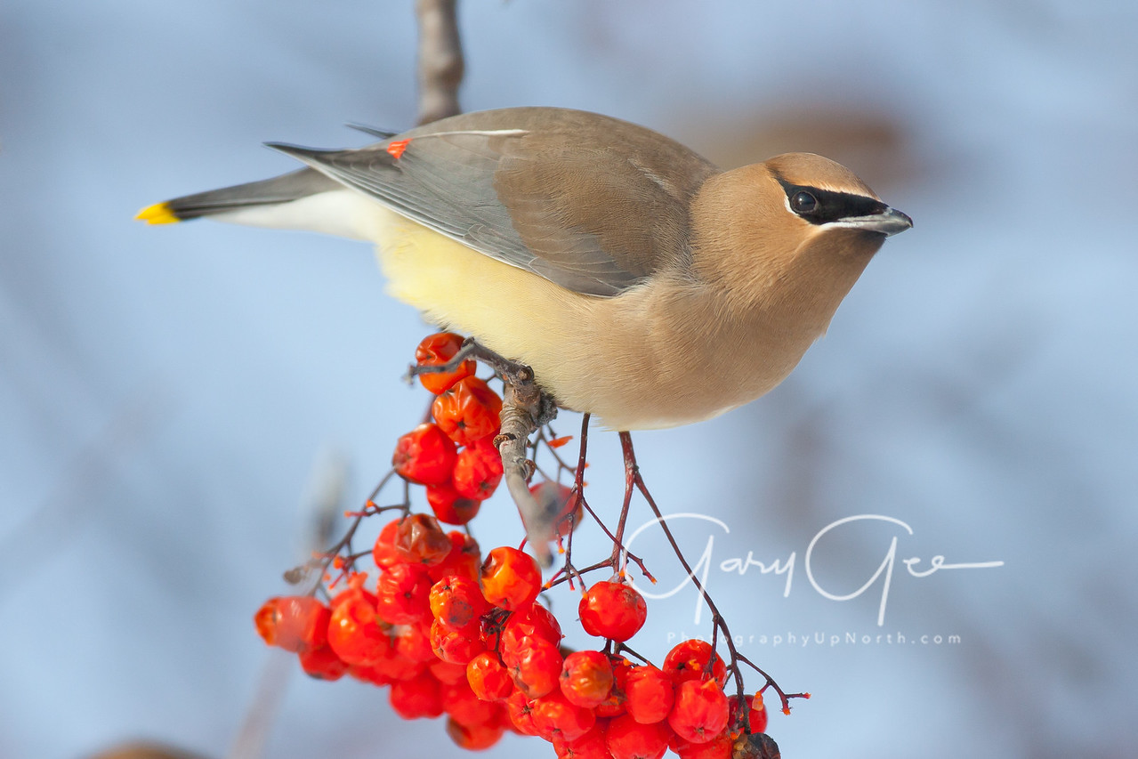 Cedar Waxwing pauses for a moment