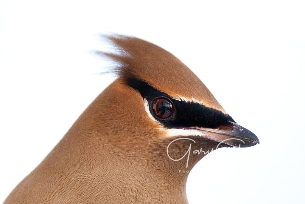 Cedar Waxwing Closeup