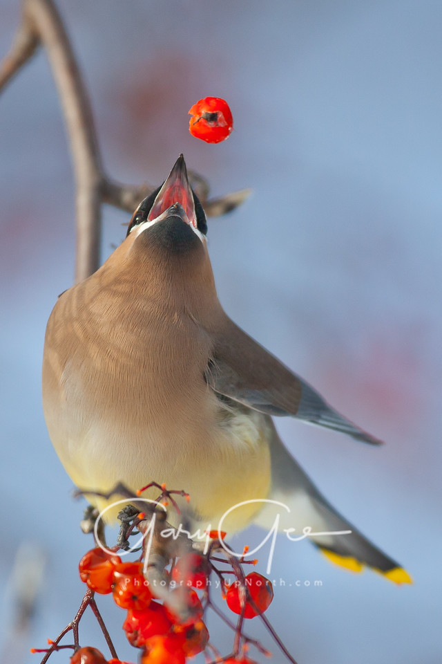 Cedar Waxwing dazzles himself with the spin of a berry before gulping it down.....