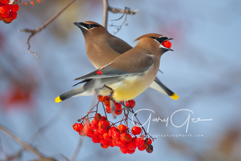Cedar Waxwings Michigan