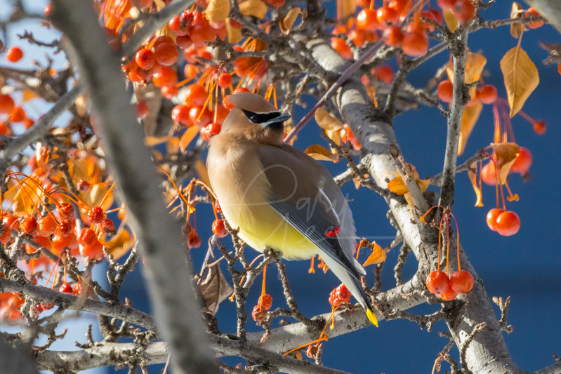 The Evening Sun Lights up the belly of a Cedar Waxwing