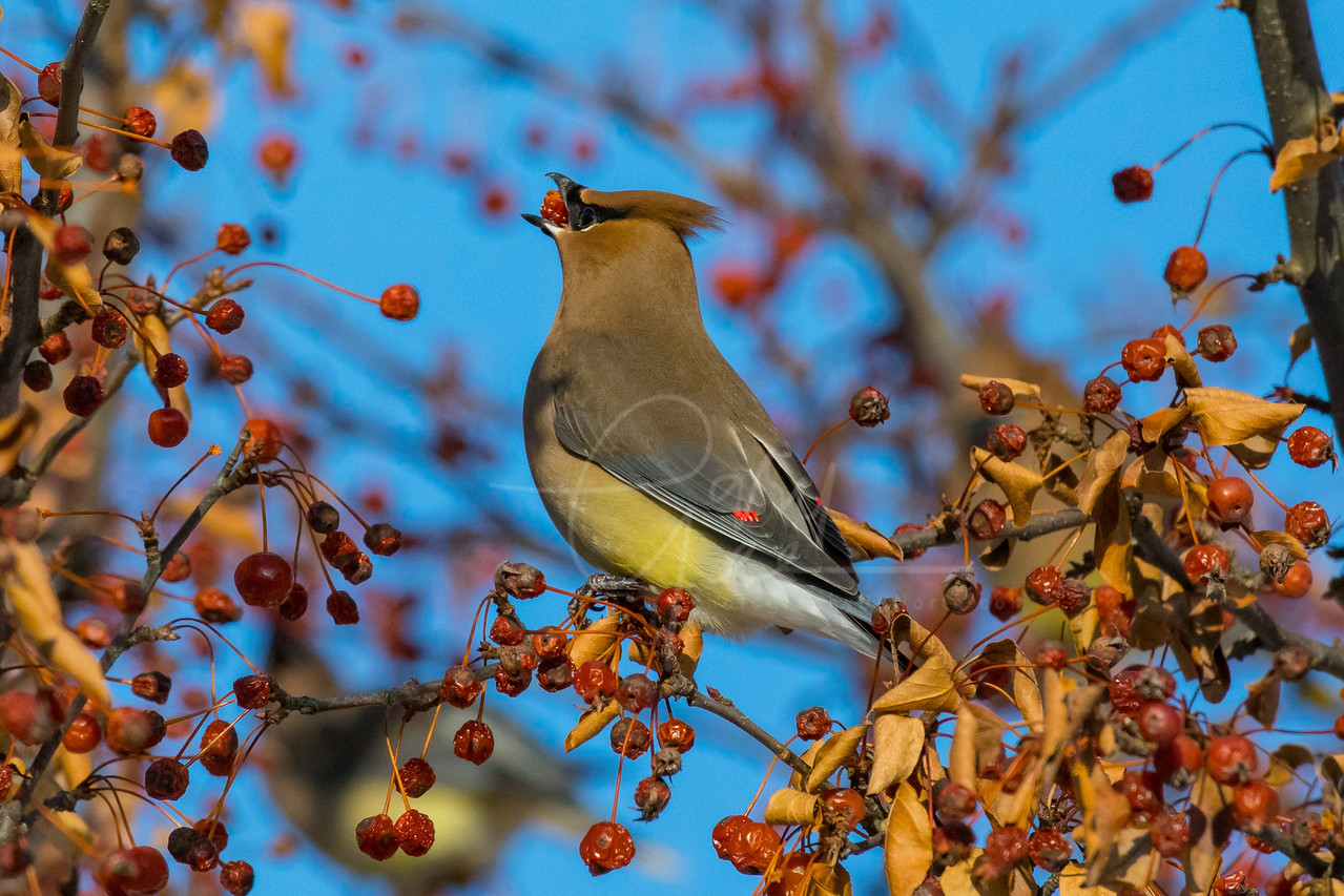 Cedar Waxwing - Golden Hour of Light - 2018