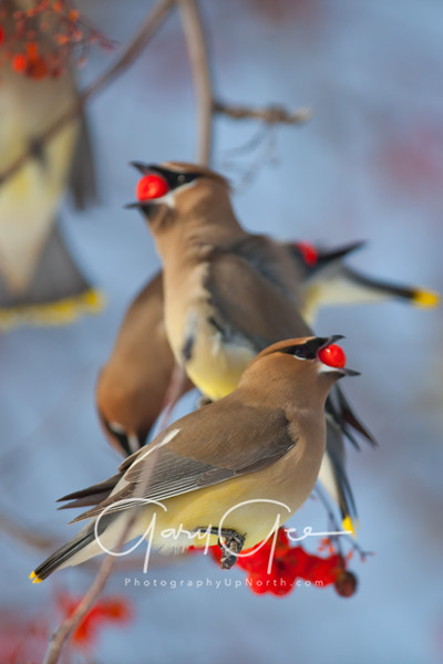 Busy branch of waxwings