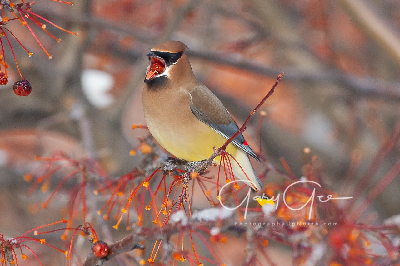 Cedar waxwings can clear a tree of it's fruit in short order - 2017