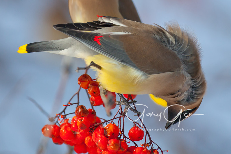 Cedar Waxwing Detailed Feathers