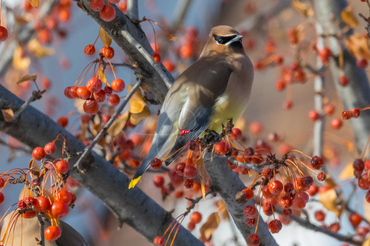 Cedar Waxwing content with a Full Belly of Berries