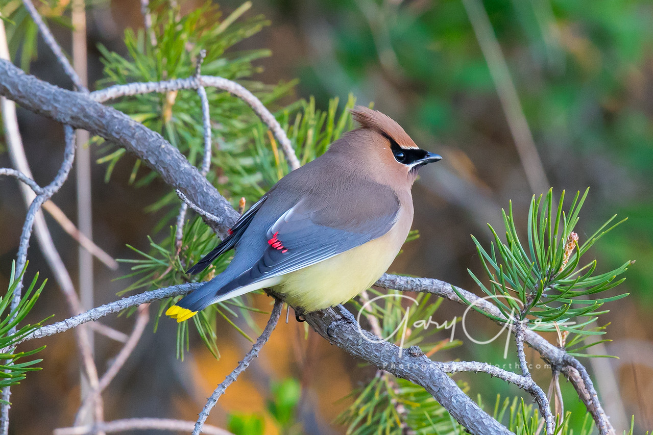 Cedar Waxwing Tawas Point