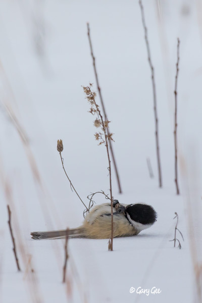 Chickadee lying on it's back in the snow eating seeds