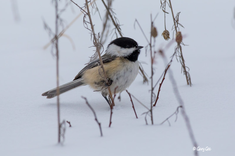 Cute Chickadee