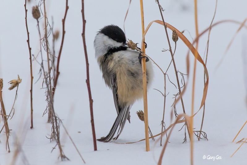 Chickadee in grass and snow