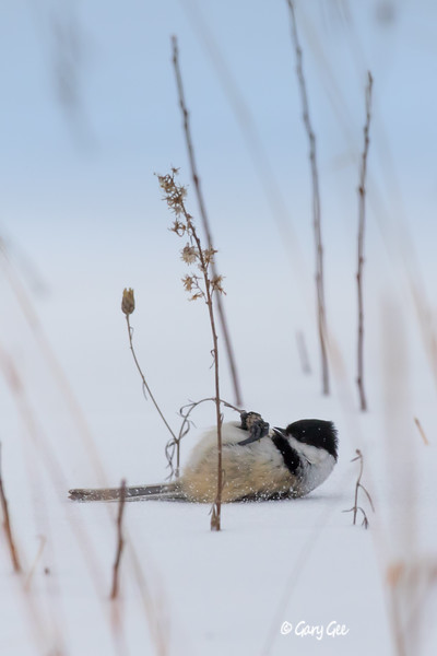 Chickadee lying on it's back in the snow feeding on grass seeds