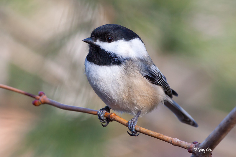 Black-capped Chickadee close-up